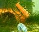 Image de Cambarellus Patzcuarensis Orange  femelle)