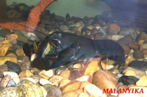 Image de Cherax destructor male