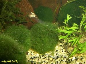 Image de Cladophora aegagropila  (5/9cm)
