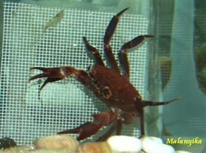 Image de Syntripsa matannensis