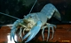 Image de Cherax destructor albidus blue