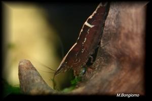Image de Caridina balbaulti  Malaya