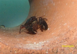 Image de Cherax black scorpion