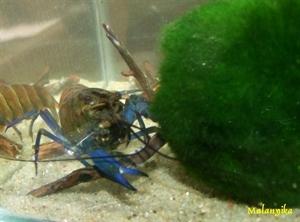 Image de Cherax boesemani kambuaya creeck blue claw