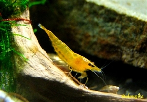 Image de Neocaridina davidi  orange fire