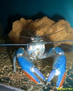 Image de Cherax quadricarinatus  sp blue