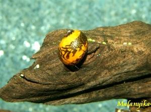 Image de Neritina sp Batik snail