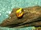 Image de Vitina sp Batik snail