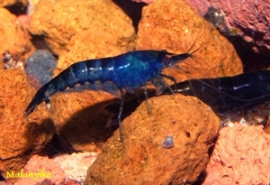 Image de Neocaridina davidi blue saphir