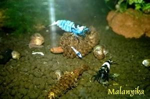 Image de Caridina mosura blue phantom