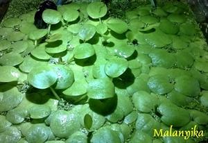 Image de Limnobium laevigatum  (grenouillette)
