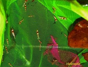 Image de Caridina logemani  red crystal grade A/S