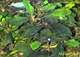 Image de Bucephalandra brownie metellica