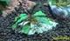 Image de Bucephalandra sp black phantom