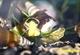 Image de Tylomelania  sarasinorum  yellow