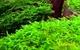 Image de Riccardia chamedryfolia mini pellia
