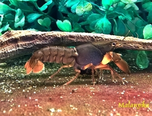 Image de Cherax black scorpion   sm/med
