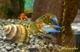 Image de Cherax peknyi blue claw