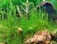 Image de taxiphyllum sp flame moss