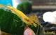 "Image de Neocaridina davidi sp yellow ""neon"" S"