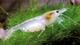 Image de Neocaridinapalmata white pearl