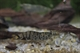 Image de Caridina mariae galaxy tiger