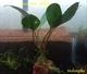 Image de Bucephalandra sp darck achilles