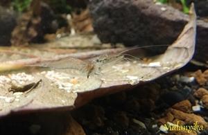 Image de Macrobrachium sp  lanchesteri