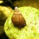 Image de Melanoides granifera