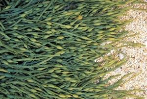 Image de Farine d'algues 60 ml