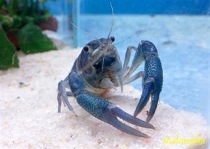 Image de Procambarus cubensis