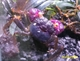 Image de Geosesarma bogorensis sp ultra violet