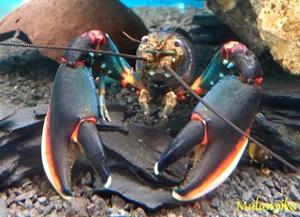 Image de Cherax pecknyi blue kong red claw