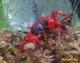 Image de Geosesarma sp red tomato couple