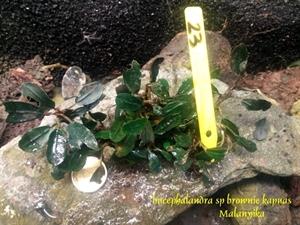 Image de Bucephalandra brownie kapuas