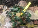 Image de Bucephalandra sp brownie kapuas clump 24