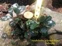 Image de Bucephalandra sp brownie kapuas 25
