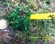Image de Bucephalandra sp mini velvet