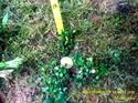 Image de bucephalandra sp mini coin clump7