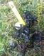 Image de Bucephalandra sp mini brownie