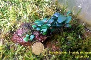 Image de Bucephalandra  sp brownie phantom