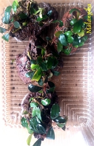 Image de Bucephalandra  mini Melawi sur puzzolane