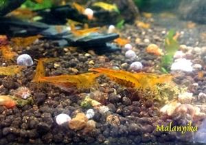 Image de Caridina sp tangerine tiger