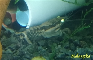 Image de Procambarus ouachitae yellow eyes