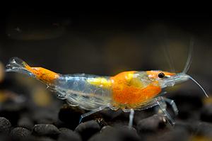 Image de Neocaridina davidi rili orange