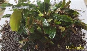 Image de Bucephalandra sp